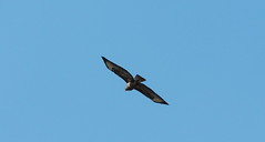 Mäusebussard (Sam.24) Tags: greifvogel accipitriformes fliegen bussard aulandschaft