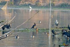 A-LUR_1992 (OrNeSsInA) Tags: ornessina trasimeno lago byrd natura nature aironi umbria itali italia
