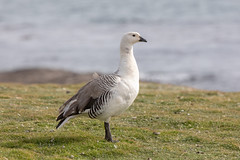 Upland Goose (M) (Linda Martin Photography) Tags: male uplandgoose southatlanticocean falklandislands saundersisland chloephagapicta