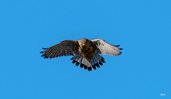 Falco tinnunculus (Manuel A. M.) Tags: leicadg100400f4063 lumixg9 panasonicg9 falcotinnunculus panasoniclumixg9 fantasticnature coth alittlebeauty coth5 panasonicdcg9 falconiformes falconidae falco commonkestrel poštolkaobecná turmfalke tårnfalk cernícalovulgar tuulihaukka gheppiocomune chougenbou チョウゲンボウ pustulkazwyczajna peneireirovulgar peneireirodedorsomalhado обыкновеннаяпустельга sokolmyšiar tornfalk 红隼 العوسق arfalchunlogod xoriguerpetit fauconcrécerelle vjetruša vörösvércse cudyllcoch xoriguercomú peñerina κίτσησ belatzgorria lagarteiro laukupiekūns burungfalkopadang пустельга пустельгаобыкновенная ډٮم ڃًي natureinfocusgroup