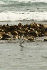 F917 Diving Tern Pt3 EF100-400/4.5-5.6 7DMkII @Mexico H89A8246 (Hiro sensei photos) Tags: ef100400mmf4556 7dmkii birds mexico