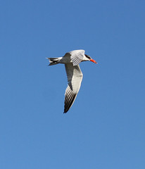 Caspian Tern in flight (Wild Chroma) Tags: hydroprogne caspia hydroprognecaspia birds tern nonpasserines inflight portugal algarve riaformosa ludo