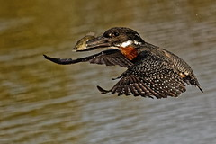 Giant Kingfisher - Martin-pêcheur géant (happybirds.ch) Tags: gambie gambia afrique africa ouest west nature thegambia happybirds oiseau bird martinpêcheur kingfisher envol vol flight inflight giant géant ngc giantkingfisher martinpêcheurgéant