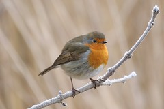0M2A2478 Robin (kevin_livesey) Tags: robin bird birdwatching leighton moss rspb nature wildlife
