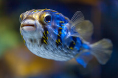 Aquarium Fish (yc4646) Tags: animal animals aquariumfish companionanimals creature creatures domesticatedanimals pet pets zoology singapore
