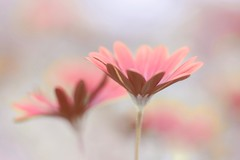 Shallow (Anna Kwa) Tags: daisies flower macro bokeh gardensbythebay annakwa nikon d750 1050mmf28 my shallow deep always seeing heart soul throughmylens life journey fate destiny