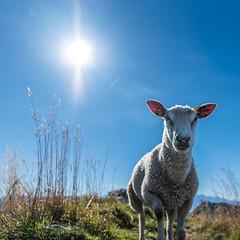 Summit sheep (__Tristan__) Tags: sheep sun sky mountain chablais brebis