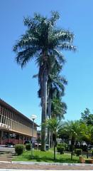 DSC_4012 (2) (Proflázaro) Tags: brasil goiás cidade jataí jardim canteiro árvore palmeira palmeiraimperial praça praçadasbandeiras viagem grama gramado perspectiva nikond3100