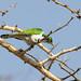 Klaas's Cuckoo - Chrysococcyx klaas, Nairobi National ParkAugust 04, 201836