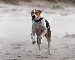 Jakob in sandstorm (RCB4J) Tags: art ayrshire ayrshirecoast babygrace clydecoast dogs dxo firthofclyde irvinebeach jakob photography playing rcb4j ronniebarron sand scotland sea siameselurcher sony18250mmf3563dtaf sonyilca77m2 trailhound waves sandstorm