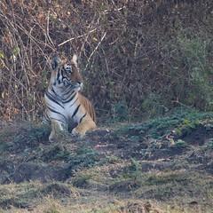 Portrait (Nagarjun) Tags: nagarholenationalreserve riverkabini tiger tigress bigcat animal wildlife safari