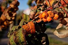 autumn (kinaaction) Tags: seasons autumn autumncolors autumnleaves rowan foliage leaves sonyilce6000 jarzębina jesień colours natureofpoland