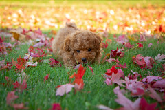 Charlie puppy (Shannon_Lund) Tags: puppy toy poodle dog fall autumn leaves grass red baby cute adorable
