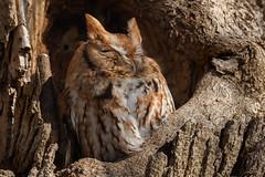 Rise & Shine (rob.wallace) Tags: winter 2019 raptor red morph eastern screech owl