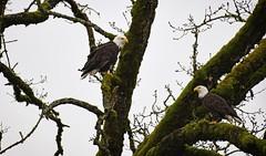 Resting - Bald Eagles (foto tuerco) Tags: bald eagles perched pair two oregon