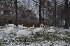 Zwanen 24.1.19 (1) (rspeur) Tags: almere thenetherlands birds winter