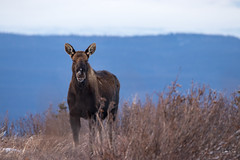 Noticed (Dan King Alaskan Photography) Tags: bullmoose bull moose alcesalces interioralaska wildlife wilderness protectwildlife preservewilderness winter male howls canon80d sigma150600mm
