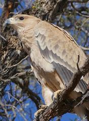 Tawny Eagle (Aquila rapax) (berniedup) Tags: kamfersboom auob kgalagadi tawnyeagle aquilarapax eagle taxonomy:binomial=aquilarapax