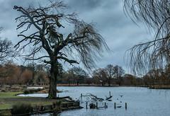 Bushy Park Jan 2019_001 (Anthony Britton) Tags: canon5dmk4 canonesom5 18150mlens 1122mlens 24105lens bushypark hampton swans heron ringparakeet sheppertonlock wier thamesriver river parks