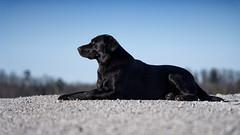 wide (uwe.kast) Tags: labrador labradorretriever labradorredriver hund haustier dog bichou wide panasonic lumix black