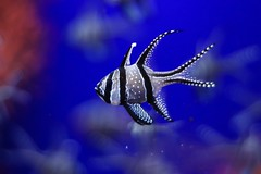 40.Pterapogon kauderni (Manupastor43) Tags: fish pterapogon life animals colors art blue nature water genova 50mm 200d eos canon