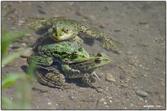Teichfrosch (fotokunst_kunstfoto) Tags: amphibien teich weiher laich ablaichen frosch frösche teichfrosch tümpel biologie natur fauna biotop wasser paarung ufer
