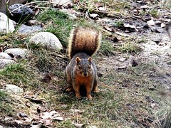 Squirrel (EcoSnake) Tags: squirrels easternfoxsquirrel wildlife winter march idahofishandgame naturecenter
