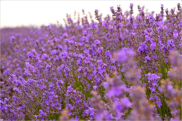 Обои Лаванда, Lavender, Лавандовое поле картинки на рабочий стол, раздел цветы - скачать
