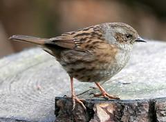 Dunnock (eric robb niven) Tags: ericrobbniven scotland dunnock wildlife wildbird natures nature tentsmuir tayport springwatch