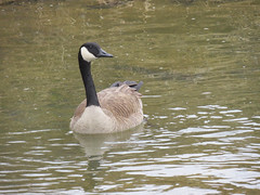 IMG_6377 (kennethkonica) Tags: nature birds animalplanet animal animaleyes autumn canonpowershot canon usa america midwest indianapolis indiana indy color outdoor wildlife geese water creek