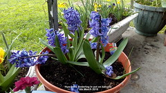 Hyacinths flowering in pot on balcony 6th March 2019 (D@viD_2.011) Tags: hyacinths flowering pot balcony 6th march 2019