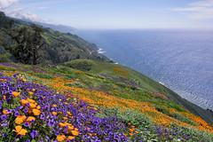 Seaside Blooms (Lee Sie) Tags: poppies flowers superbloom california west coast seaside pacific ocean hillside sky clouds sea