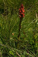 Satyrium sceptrum (zimbart) Tags: angiosperms asparagales flora malawi nyikaplateau orchidaceae satyrium monocots orange red africa satyriumsceptrum