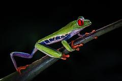 Red-eyed tree frog (Eric Gofreed) Tags: agalychniscallidryas costarica frog redeyedtreefrog