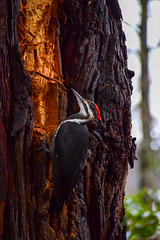 Measure twice... (James_D_Images) Tags: pileated woodpecker vancouver britishcolumbia park tree bark bird nature wood black red white striped wildlife