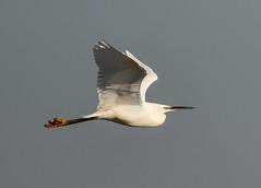 Norfolk Feb 2019 Little Egret