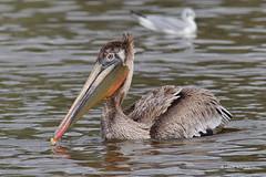 Brown Pelican, immature, Malibu Lagoon, CA CQ4A4092 (Hart Walter) Tags: malibulagoon legacypark royaltern brownpelican grayplover marbledgodwin