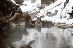 Jump (Elios.k) Tags: horizontal outdoors nopeople monkey jumping jump inair airborne wet snowmonkey snow bokeh snowfalling cold warmspring bath bathing onsen hotspring water reflection animal nature japanesemacaque japanesesnowmonkey winter fur dof depthoffield focusinforeground backgroundblur colour color travel travelling december 2017 vacation canon 5dmkii camera photography yudanaka yudanakaonsen shibuonsen yamanouchiarea jigokudanivalley monkeypark joshinetsukogennationalpark yokoyuriver chūbu chubu kōshinetsu naganoprefecture honsu asia japan jigokudaniyaenkoen swimming