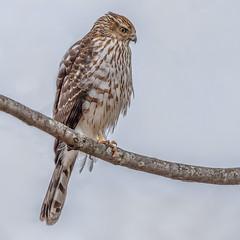 Cooper's Hawk (Kevin E Fox) Tags: coopershawk hawk birdofprey raptor flashphotography bird birding birdwatching birds sigma150600sport sigma nature nikond500 nikon newbritain pennsylvania
