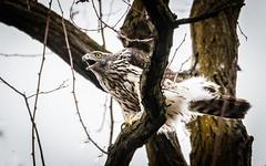 Habicht, Jungvogel, J06, ruft (cfowallburg) Tags: accipitergentilis accipitridae accipitriformes habicht greifvogel