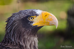 Eagle (Rene Mensen) Tags: bird eagle zoo emmen nikkor nikon wings feathers portrait head eye