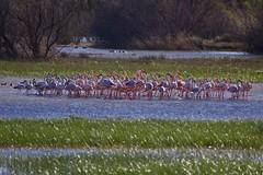 Flamencos. (Andrés) Tags: flamencos flamingos aiguamolls girona empuria costabrava wildlife canon7dmarkiii