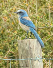 All I know she sang a little while and then flew off. (Kathryn Louise18) Tags: florida kathrynlouise scrubjay bird fence birding deltona roberthunter gratefuldeadlyrics canon lyoniapreserve
