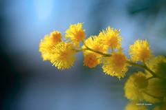 Mimosa toulousain (jpto_55) Tags: fleur mimosa bpkeh macro fuji fujifilm omlens om50mmf2macro hautegaronne france