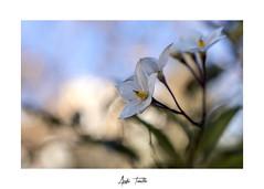 _DSC0164 (anahí tomillo) Tags: naturaleza nature nikond7500 flores flowers bokeh