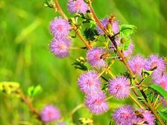 abelhas, cerrado, Brasil (odineiferreira) Tags: abelha vegetação cerrado brasil bee abeja biene ape 蜜蜂 abeille