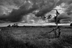 effet éolien (Michaël T.) Tags: arbre tree nature paysage landscape belgique belgium nb bw noiretblanc blackandwhite monochrome hautesfagnes