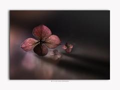 Happy New Year ! (Lucie van Dongen) Tags: flora fiore pink artistic artwork composition hortensia hydrangea closeup lightpainting stilllife flower macro happynewyear
