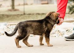 2019-03-02, Mel x Dezi Red Female-2 (Falon167) Tags: gsd germanshepherddog german shepherd dog puppy mel dezi melxdezi litter bessie puppies