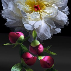 Peonies (Pixel Fusion) Tags: nature nikon flora flower aperture macro d600 photoshop peony